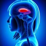 Anatomy of brain s putamen and caudate nucleus- cr...