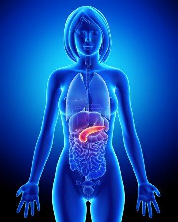 Female pancreas anatomy in blue x-ray