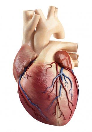 Photo pour 3D illustration rendue d'une vue différente de l'anatomie du cœur - image libre de droit