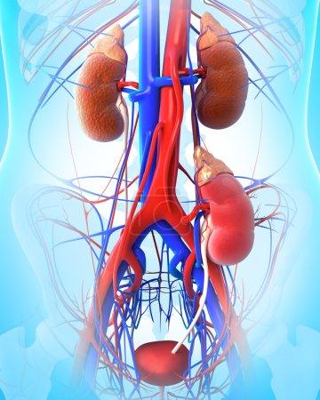 Anatomy of kidney transplant