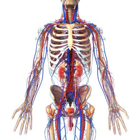 Photo pour Illustration de rendu 3D de l'anatomie du rein cross section - image libre de droit