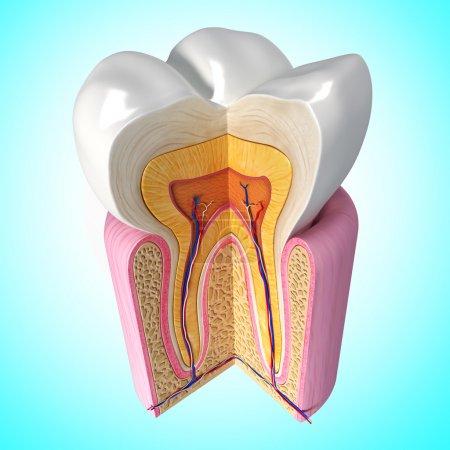 Photo pour Illustration 3D de haut vue latérale de l'anatomie des dents - image libre de droit