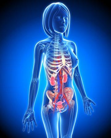 Photo pour Système urinaire féminin sous forme de rayons x bleu en bleu - image libre de droit