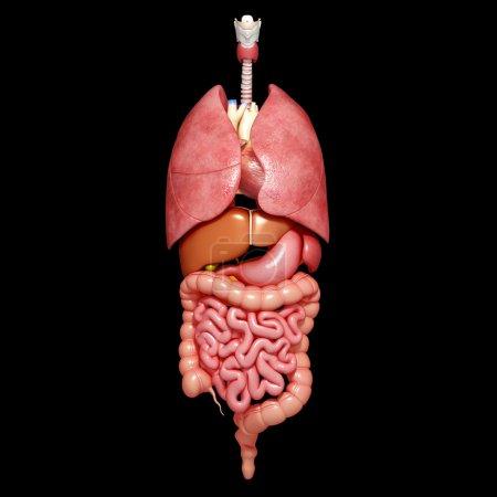Photo pour Illustration de l'anatomie masculine du tube digestif et de STOMACH antérieure avec poumons et foie - image libre de droit