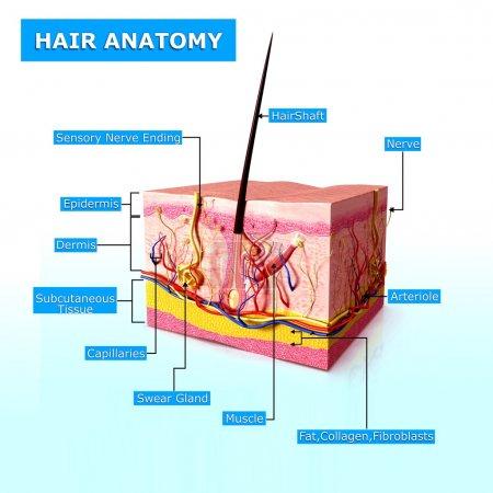 Photo pour Illustration de l'anatomie des cheveux avec des noms - image libre de droit