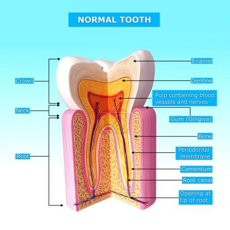 Photo pour Anatomie de la dent avec des noms - image libre de droit