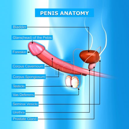 illustration of male reproductive system with names