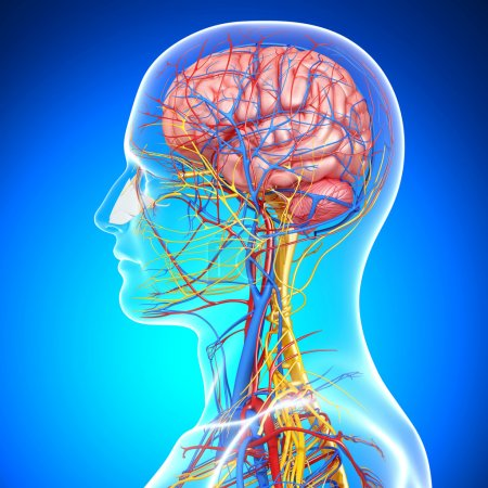 Side view of brain circulatory system with, eyes, throat, teeth isolated in blue background