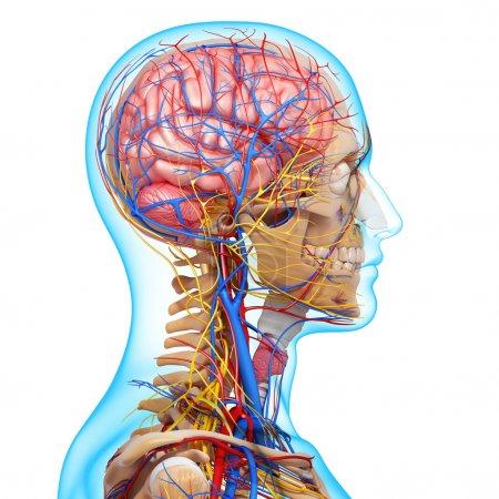 Photo pour Vue de côté de tête circulatoire avec, yeux, gorge, dents - image libre de droit