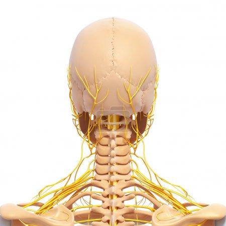 Photo pour Système nerveux de la vue arrière du squelette humain de tête avec les yeux, dents - image libre de droit