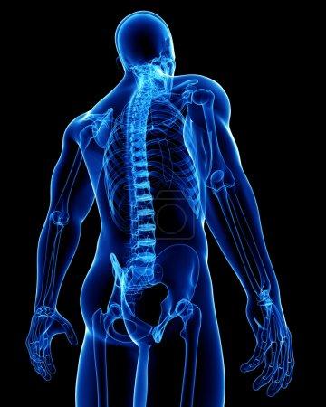 Photo pour Anatomie du corps masculin - image libre de droit