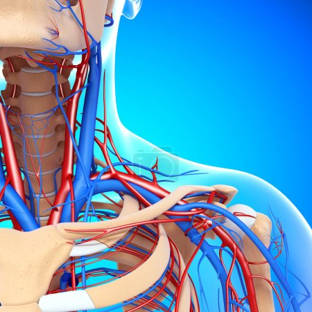front half view of throat circulatory and nervous system isolated