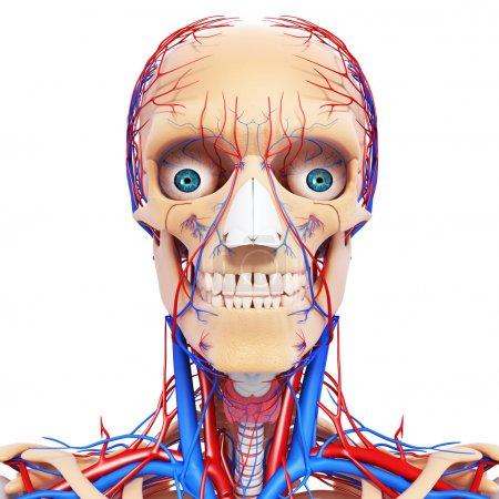 Photo pour Tête nerveuse gorge, dents et système circulatoire - image libre de droit