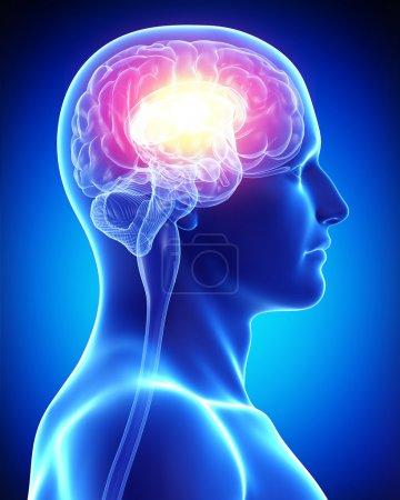 Photo pour Cerveau masculin - image libre de droit