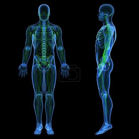 Photo pour 3D illustration art du système lymphatique - image libre de droit
