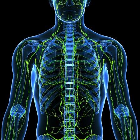Photo pour Illustration de l'art 3d du système lymphatique masculin - image libre de droit