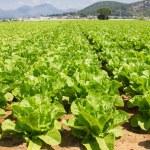 Lettuce plant in field...