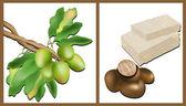 Zweig der Shea-Baum, Shea-Nüsse und Shea-butter