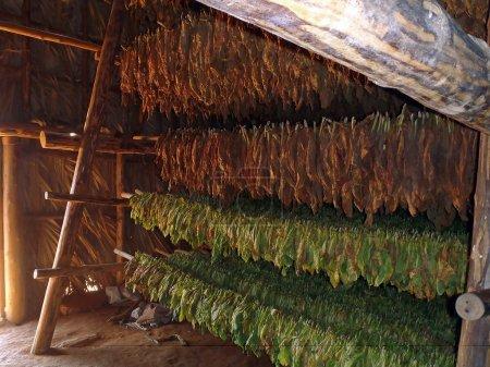 Photo pour Séchage des feuilles de tabac dans une grange - image libre de droit