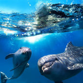 Dva legrační delfíni usmívá pod vodou velmi blízko fotoaparátu