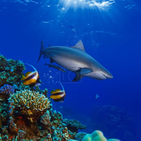 colorful underwater ocean coral reef and big shark