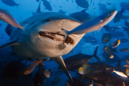 Bullshark with opened mouth in dynamic motion