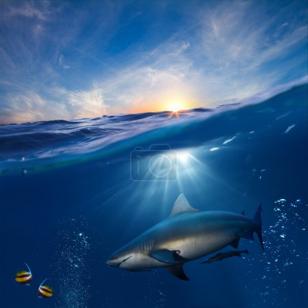 Design template with underwater part and sunset skylight splitted by waterline and angry hungry shark underwater