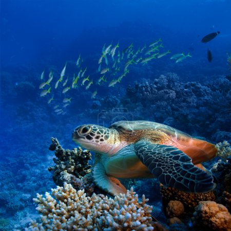 Photo for Red sea diving big sea turtle sitting on colorful coral reef - Royalty Free Image