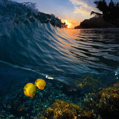 Sunset time green blue colored ocean surfing wave splitted by waterline and tropical yellow fish