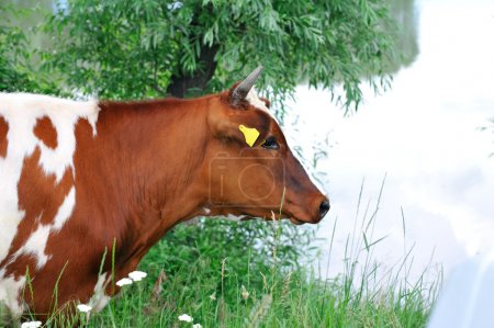 Portrait of a brown cow .