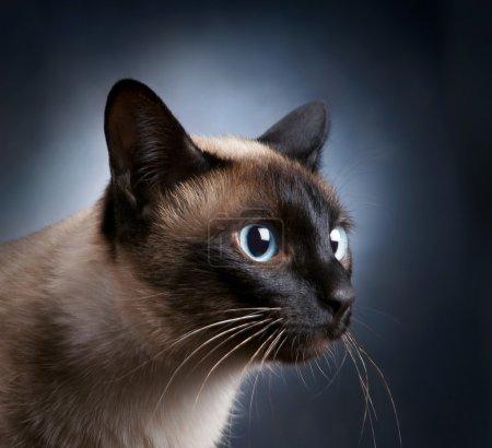 Portrait of the siamese cat