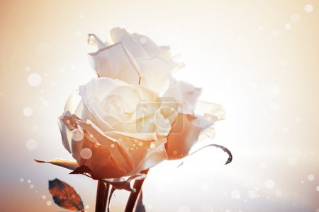 Romantic background with three white roses