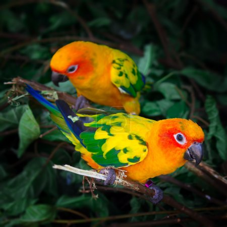 Photo for Two sun conures parrots are sitting on a tree branch. Square composition. - Royalty Free Image