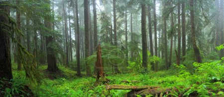 Photo pour Hoh rain forest national olympique park washington - image libre de droit