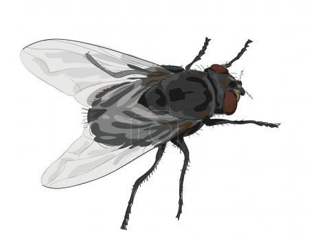 Illustration for Insect fly isolated on white background. Vector illustration. - Royalty Free Image