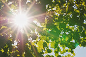 rays of the sun through the leaves of the tree