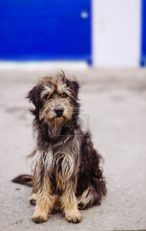 Close-up portrait shaggy dog panhandlers on blue background wall