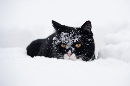 Photo pour Chat noir et blanc, marchant dans la neige - image libre de droit