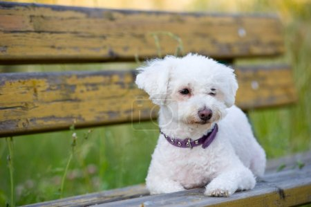 Maltese dog on a bench outdoor