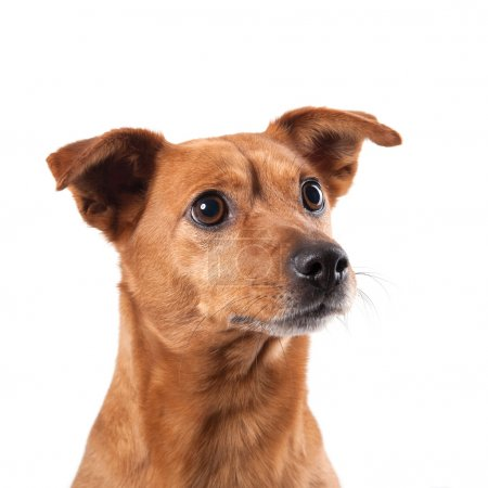 Half-breed dog isolated on white background.