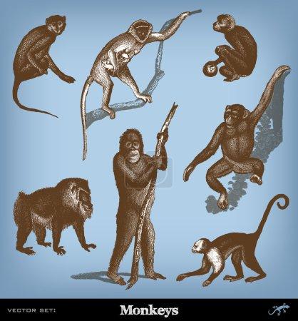 Engraving vintage Monkeys set