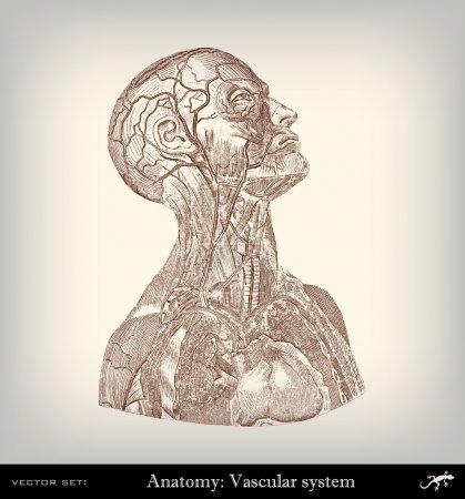 Illustration pour Système vasculaire vintage de gravure - image libre de droit