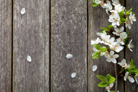 Photo for Spring flowers on wooden table background. Plum blossom. Top view - Royalty Free Image