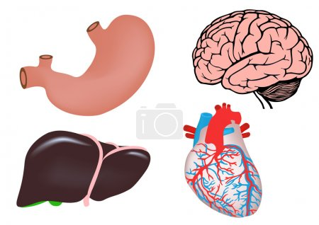 Illustration for Uman organs. human heart, liver, stomach and brain. vector medicine illistration - Royalty Free Image