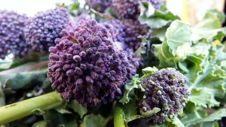 Organic Purple Sprouting Broccoli , floret head and leaves