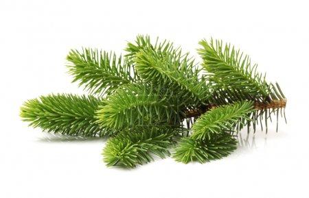 Photo pour Branche de pin isolé sur fond blanc - image libre de droit