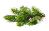 Větev borovice