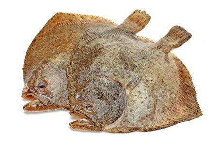 Turbot fish on white background