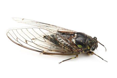 Photo pour Insecte cigale isolé sur fond blanc - image libre de droit