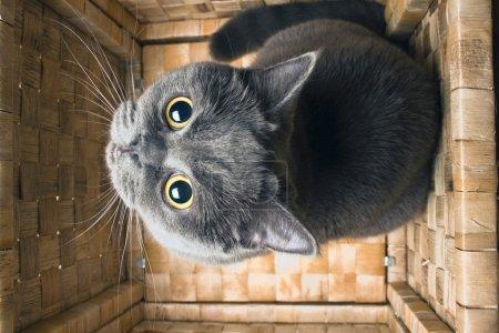 The grey cat British breed